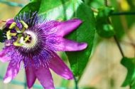 Passiflora Panama Red 5 Seeds - Unusual Passion Flower